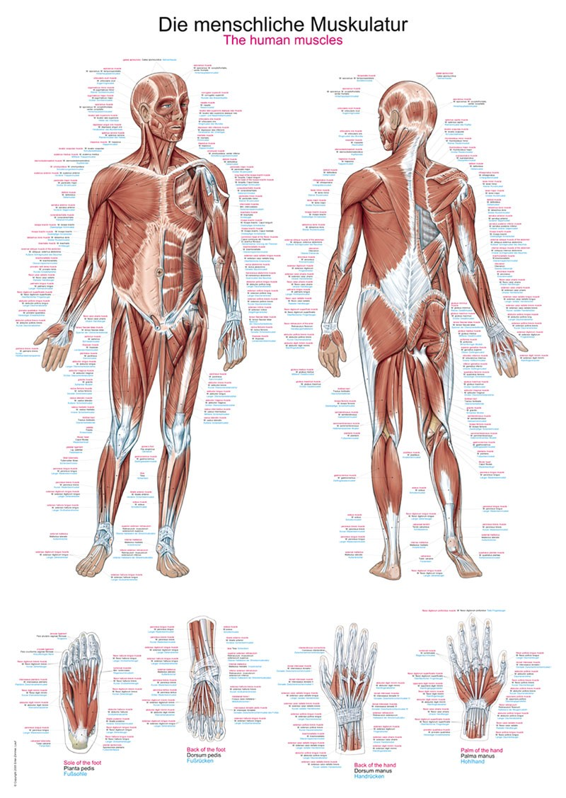 Human Muscles Chart Eshopmed Poster Of Human Muscles