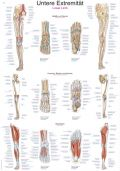 Lower Limb Chart