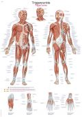 Trigger points Chart